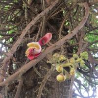 Hoa SaLa, Cung Điện Hoàng Gia