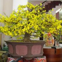 Xuân 2012 - Mai vàng trăm tuổi