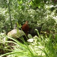 Gà Ri trong vườn NTHQN