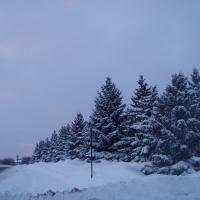 Hàng thông với những bông tuyết