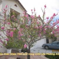 Xuân Nhâm Thìn 2012-Hoa đào trước nhà Phương Anh