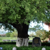 Cây Me trong vườn nhà ba anh em họ Nguyễn  - Bảo Tàng Viện Quang Trung