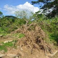 Cổ thụ sau cơn bão số 11 - Bảo Tàng Viện Quang Trung